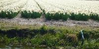 Keukenhof - květinová pole.JPG